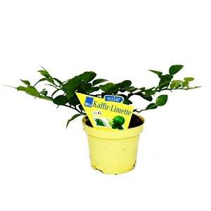 Kaffir Lime – Citrus hystrix – 2 Plantes – Kaffir Lime Spice Plant