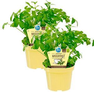 Maggikraut, Liebstöckl (Levisticum officinale), herbes végétales issues de cultures durables, (2 plantes en lot)