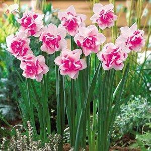 Ncient Graines de Jonquille – 100 Narcisses – Graines Semence Adorable Flower Graines Parfumées Fleurs (100 pcs)