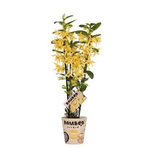 Orchidée de BAMBOO ORCHID – Bambou Orchidée – Hauteur: 50 cm, 3 pousses – Dendrobium nobile Chyomi
