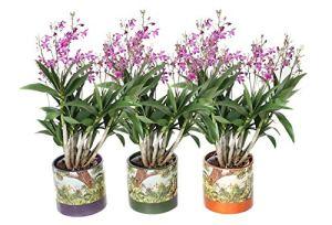 Orchidées de Botanicly – 3 × Bambou orchidée rose – Hauteur: 40 cm, 6 pousses – Dendrobium Berry Oda
