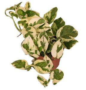 Pothos, scin dapsus, (epip remnum Aureum) Vari?t??: N 'joy, blanc feuillage color?, rankend, plante, d?port? luftreinigend – eine Pflanze im 12cm Topf