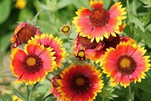 RWS Gaillardia aristata 30 graines, graines de fleurs de couverture – Blooms pour 4 mois