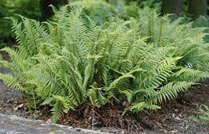 3 x dryopteris affinis 'Crispa' (herbe d'ornement/fougère) couleur de cuticule dorée ondulée