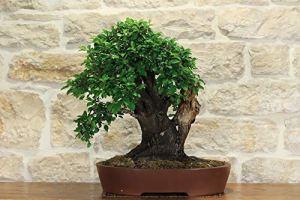 Blackthorn bonsai tree (10)
