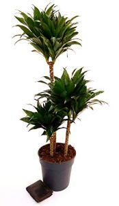 DRACENA Compacte, hauteur 110/120 cm, plante véritable