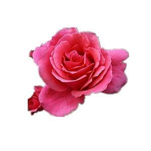 Fenshan Rose Flower Quatre Saisons Arbuste Chinois Rose Variété Planté Extra Large Fleurs 300 Capsules