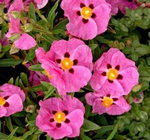 – Pink Silk 'Ciste Seeds