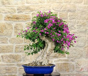 Sanderiana Bouganville bonsai tree (50)