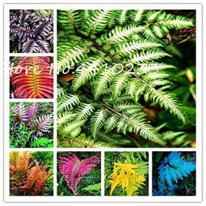 SVI frais 100 Pcs Fern graines végétales pour la plantation multi-couleurs 1