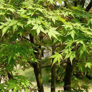TENGGO Egrow 100 Pcs/Pack Vert Érable Arbre Graines Feuille Verte Érable Arbre Semente Plante Palmatum Arbre pour L'érable Chinois