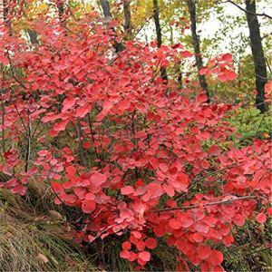 TENGGO Egrow 30 Pcs/Pack Cotinus Graines Cotinus Arbre Semente Plante Cotinus Coggygria
