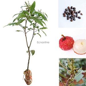 AGROBITS Litchi Graines Liquique Lychee Garden Seeds Bonsai Plantation Rare Fruits Eo56 02