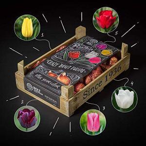 Bulbes de tulipes -«UNICORN TREASURE» – BOLT Amsterdam – 100 pièces – Floraison unique – 5 couleurs – Qualité supérieure – fraîchement notre propre pépinière – Idéal cadeau – Floraison garantie 100%