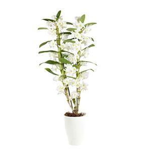 Dendrobium Spring Dream Apollon | Orchidée blanche | Hauteur 50-60cm | Pot Ø 12 cm