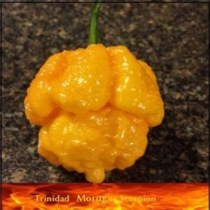 Lot de 20 graines de piment trinidad Moruga Scorpion Jaune