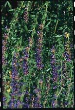 Lot de 200 graines d'hysope (hyssopus officinalis)