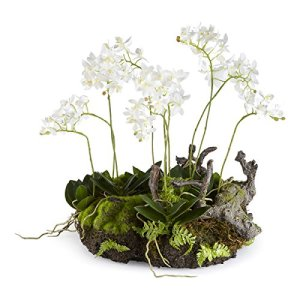 Mini dendrobium rustique Drop-In, 40,6 cm