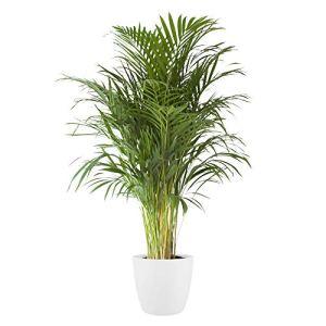 Plante d'intérieur de Botanicly – Palmiste multipliant en pot de fleur blanc comme un ensemble – Hauteur: 125 cm – Areca dypsis lutescens