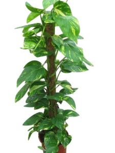 Plante d'intérieur – Plante de maison ou de bureau – Cindapsus aureus – Lierre du diable – 50 cm de haut