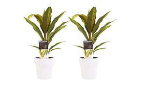 Plantes d'intérieur – 2 × Kordulê en pot de fleur blanc comme un ensemble – Hauteur: 12 cm