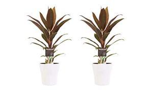 Plantes d'intérieur – 2 × Kordulê en pot de fleur blanc comme un ensemble – Hauteur: 40 cm
