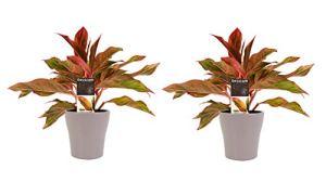 Plantes d'intérieur de Botanicly – 2 × Aglaonème en pot de fleur brun comme un ensemble – Hauteur: 25 cm – Aglaonema