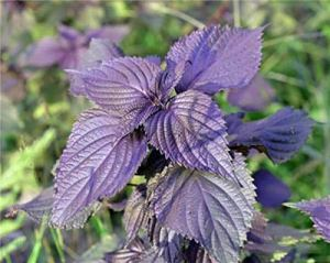 Red Shiso Perilla Frutescens Red Seeds 50+ Chinese Specialty Herb Sesame Leave Organic Non-GMO Vegetable Garden Seeds for Planting Herb Seeds