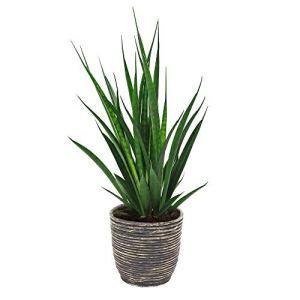 Sansevieria kirkii FRIENDS | Langue de belle-mère | Plante verte d'intérieur | Hauteur de livraison 35-40cm | Pot rotin brun Ø 18cm