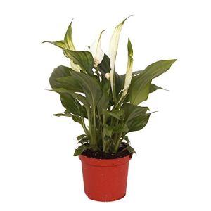 Spathiphyllum wallisii « Pearl Cupido » | Fleur de lune | Plante d'intérieur fleurie et purificatrice d'air | Hauteur 35-40cm | Pot Ø 9cm