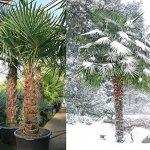 10 Graines de palmier de Chine – Trachycarpus fortunei