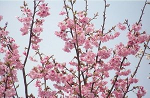 2015 Plantes Nouveau Top Fashion Outdoor Bonsai Regular Environ 50 Pieces Cherry Blossoms arbre Graines Sakura Graines, couleur