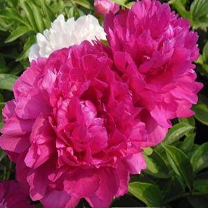3-5 yeux pivoine racine nue – racines de pivoine à planter – bulbes/racines sains de haute qualité et sains (1, rouge)