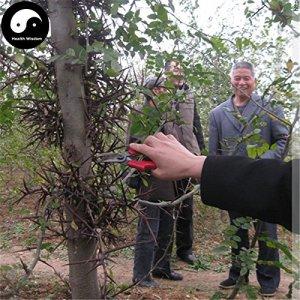 Acheter Gleditsia arbre Graines de plante Gleditsia Sinensis Arbre Pour Honeylocust