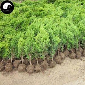 Acheter Sabina chinensis arbre Graines de plante Thuya Pour les Chinois Sa Jin Bai