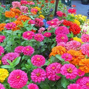 Aerlan Fleurs Graines ornementales pour Balcon,Graines de Parfum rares,Zinnia Gesang Flower Zinnia Flower Seed Garden Balcony-G5kg
