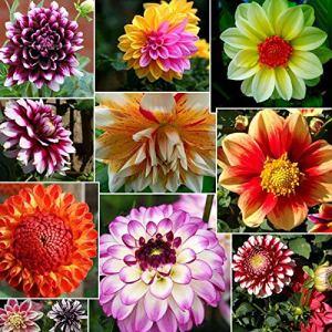 AGROBITS P Dahlia colorées Grande fleur fleur Bulbes jardin Tuber