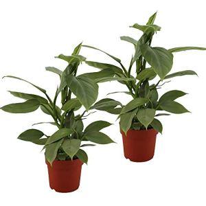Choice of Green – 2 Philodendron hastatum – Epée d'Argent
