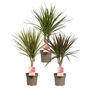 Choice of Green – Ensemble de 3 Dracaena marginata Mix – Drakenbloedboom