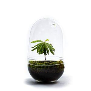 DIY Jardin en Bouteille Durable : Egg Grand – Biophytum sensitivum (Hauteur: ca. 30 cm)