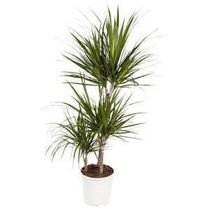 Dracaena Marginata | Plante dépolluante | plante d'intérieur| hauteur 105 cm | Pot 24 cm | Entretien facile