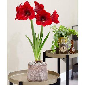 Hippeastrun PREMIERE | Bulbe dAmaryllis | Fleurs rouges | Ø 26-28 cm