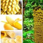 KINGDUO 30 PCs Nains graines de bananier bonsaï Arbre Tropical Fruits Fleurs Balcon pour Les Plantes à la Maison