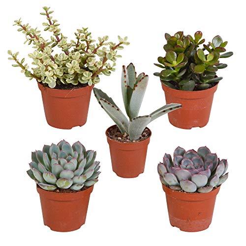 Mix 5 Succulentes | Crassula, 2x Echeveria, Portulacaria, Kalanchoe | Petites plantes vertes faciles d'entretien | Hauteur 7-14cm | Pot Ø 6cm
