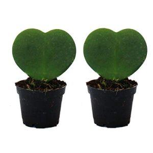 Set de 2 plantes Hoya kerii – feuille de coeur, plante de coeur ou petite chérie – en pot de 6cm
