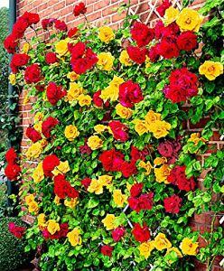 2x Rosa Spanish Flag Duo   Fleurs jaunes et rouges   Rosiers grimpants à planter   Racines nues   Hauteur 22cm