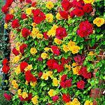2x Rosa Spanish Flag Duo | Fleurs jaunes et rouges | Rosiers grimpants à planter | Racines nues | Hauteur 22cm