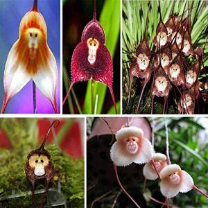 Alick 10 graines de fleurs d'orchidées pour le visage de singe