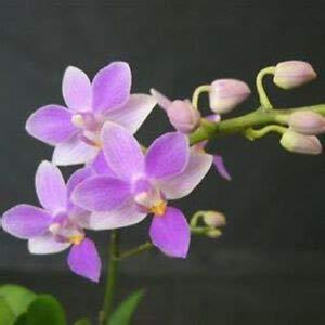 Alick 50 graines de mini fleur d'orchidée