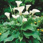 Bulbes à fleurs pour la floraison PRINTEMPS/ÉTÉ/AUTOMNE (2, Richarde ou Calla – Zantedeschia Aethiopica)
